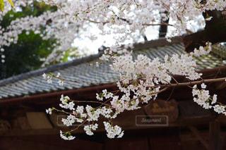 桜の写真・画像素材[1097860]