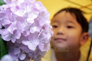 雨に耐える紫陽花の写真・画像素材[3356224]