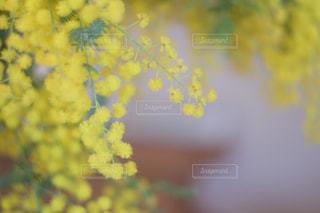 ミモザの日の写真・画像素材[1067783]