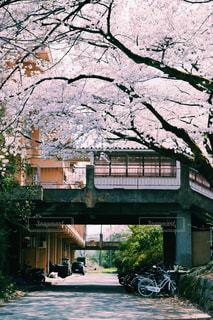 桜のアーチの写真・画像素材[1207432]
