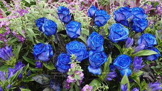 青いバラ、花言葉は夢かなうの写真・画像素材[2484012]