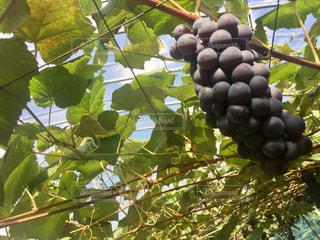 果物の枝に座っているの束の写真・画像素材[856680]