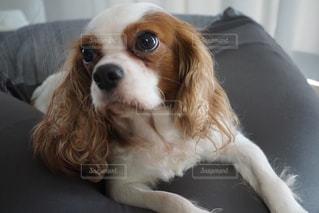 茶色と白の小型犬の写真・画像素材[856692]