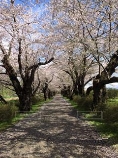 桜のトンネルの写真・画像素材[1046784]