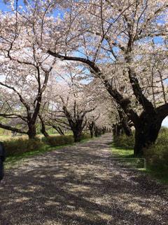 桜並木の写真・画像素材[1046789]
