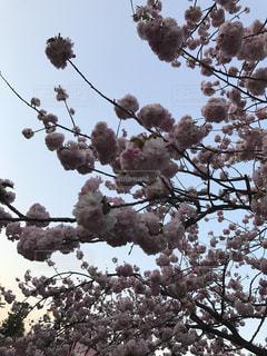 桜の写真・画像素材[1046791]