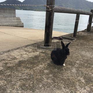 大久野島の黒うさぎの写真・画像素材[857631]