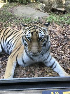 虎のカメラ目線の写真・画像素材[859262]
