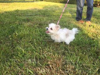 草の中の小さな白い犬立っての写真・画像素材[886881]