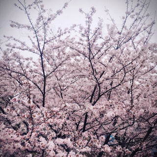 満開の桜の写真・画像素材[1012107]