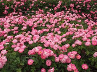 薔薇15の写真・画像素材[861717]