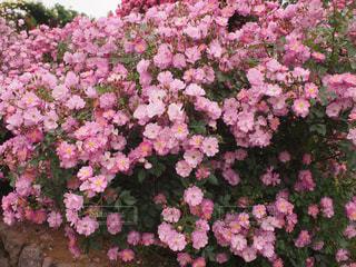 薔薇27の写真・画像素材[893390]
