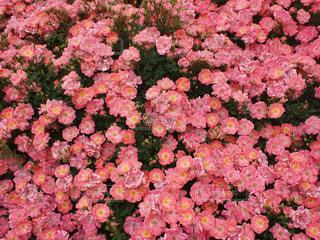 薔薇31の写真・画像素材[917220]