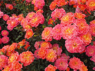 薔薇33の写真・画像素材[920654]