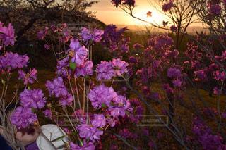 紫色の花一杯の花瓶の写真・画像素材[859142]