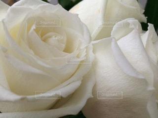 白バラの写真・画像素材[859083]