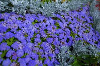 紫色の花々の写真・画像素材[859738]