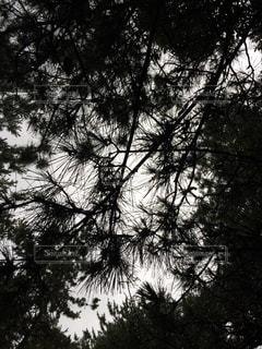 白黒の松の木の写真・画像素材[859744]