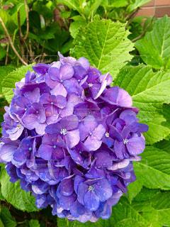 紫陽花の写真・画像素材[859745]