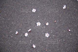 アスファルトに落ちた桜の花びらの写真・画像素材[859746]