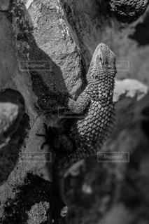 メキシコのトカゲの写真・画像素材[2976681]