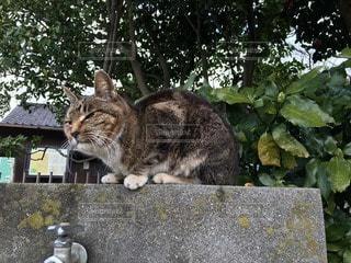 猫の写真・画像素材[112181]