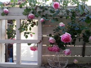 白い板壁にピンクのバラの写真・画像素材[863802]