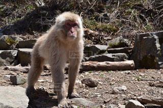 岩の上に座っている猿 - No.859954