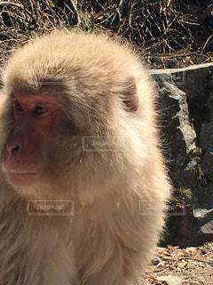 カメラを見て猿の写真・画像素材[859961]