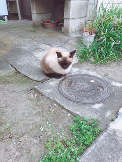 マンホールと猫の写真・画像素材[863614]