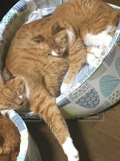 親子で眠る猫の写真・画像素材[1221052]