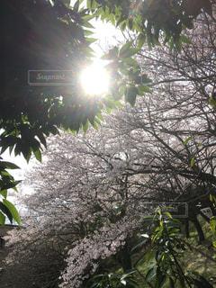 大学裏に咲いた桜② - No.860074