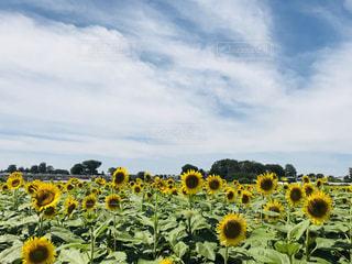 ひまわり畑の写真・画像素材[1625480]