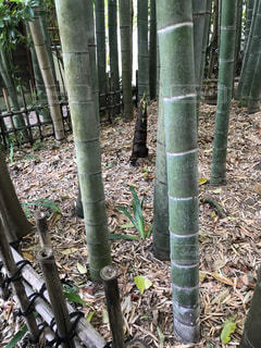 竹やぶの写真・画像素材[1626186]