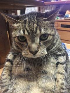 デブ猫の写真・画像素材[860197]