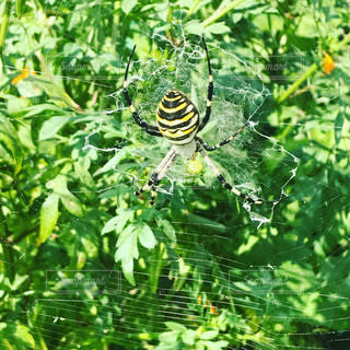 蜘蛛の巣と蜘蛛の写真・画像素材[860366]