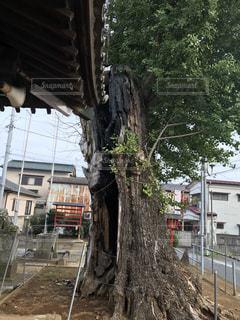 焼けても、生き続けているパワフルな木の写真・画像素材[860959]