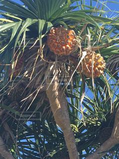 近くに果物の木のアップの写真・画像素材[860304]