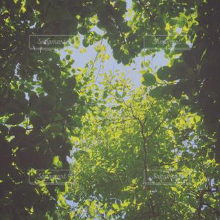 緑のリンゴの木の写真・画像素材[864111]