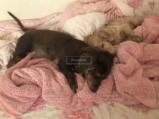 ベッドの上で寝ている犬の写真・画像素材[862567]