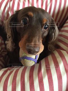 近くにベッドの上で横になっている犬のアップの写真・画像素材[862572]