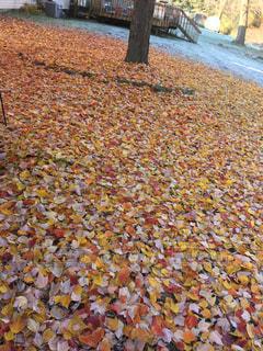 木の下のカラフルな落ち葉の写真・画像素材[860789]