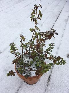 初雪とミントの鉢植えの写真・画像素材[877202]