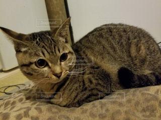 座布団とお揃い柄の猫の写真・画像素材[861657]