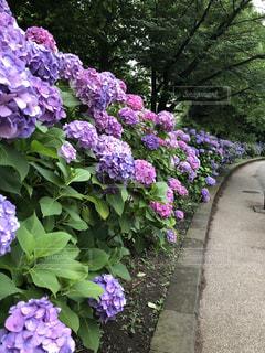 大きな紫色の花は、庭の写真・画像素材[1244433]
