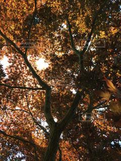 森の大きな木の写真・画像素材[862487]