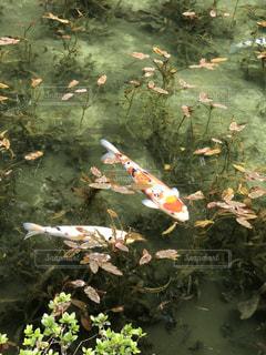 美濃加茂 モネの池の鯉の写真・画像素材[1585629]