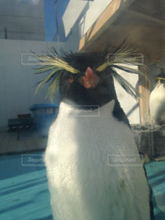 近くにペンギンのアップの写真・画像素材[862634]