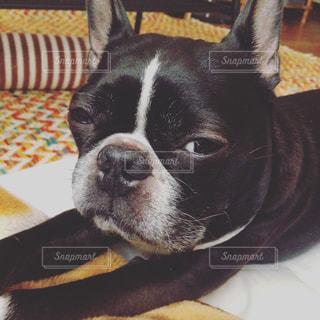 ベッドの上で横になっている黒犬の写真・画像素材[862744]