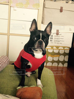 小さな黒い犬の写真・画像素材[862777]